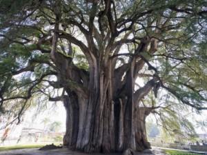 El Tule tree Oaxaca