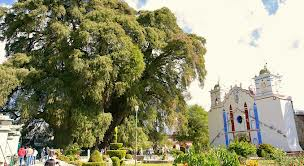 Tule tree and church