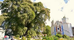 Tule tree and church