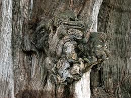 Tule tree knot